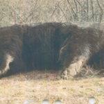 ursul-arthur-impuscat